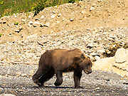 An Alaska coastal brown bear runs across the rocks on the shore of Chinitna Bay, Lake Clark National Park, Alaska.