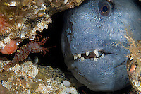 Atlantic wolffish, Anarhichas lupus<br />