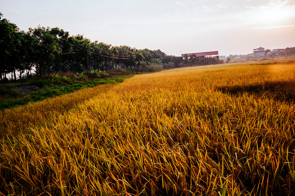 Golden rice fields in the early morning in Ninh Binh, in northern Vietnam.