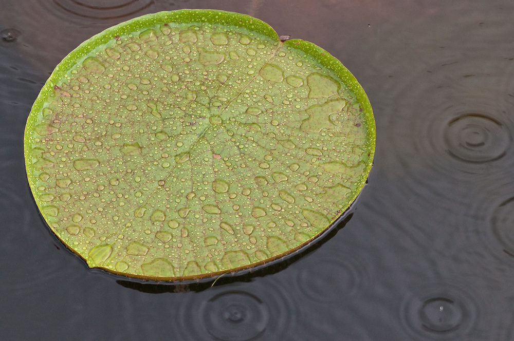 Giant Lilypad in the Rain