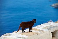 Grece, Cyclades, Santorin, chat des rues. // Greece, Cyclades, Santorini, street cat
