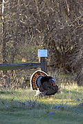 Wild Tom turkey displaying in Front of Public Access Sign