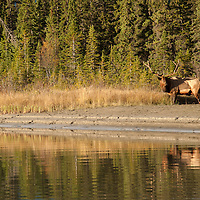 bugling bull elk along river