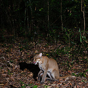 "The Asian golden cat (Catopuma temminckii, syn. Pardofelis temminckii), also called the Asiatic golden cat and Temminck's cat. Asian golden cats, known as the ""fire cat"" in Thailand"