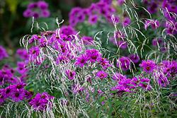 Symphyotrichum novae-angliae 'Sayer's Croft' syn. Aster novae-angliae 'Sayer's Croft'. New England aster