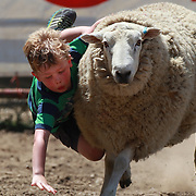 A youngster falls from a sheep during the sheep racing for young children at the Millers Flat Rodeo. Otago, New Zealand. 26th December 2011