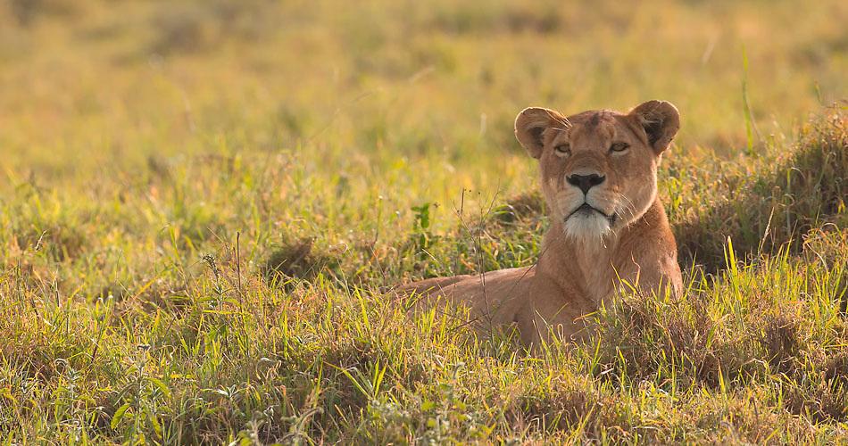 Female lion resting in Ngorongoro Crater, Tanzania
