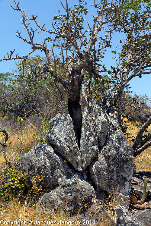 Tree (Wunderlichia crulsiana; Compositae - Asteraceae) growing in rock crack in savanna (called cerrado in Brazil) biome: saxicolous vegetation (campos rupestres): vegetation among rocks. Brazilian Highlands, Goias State, Brazil.