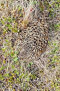 Willow Ptarmigan, Lagopus lagopus, female on nest, Yukon Delta NWR, Alaska