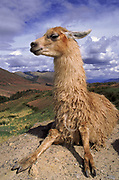 Llama<br />