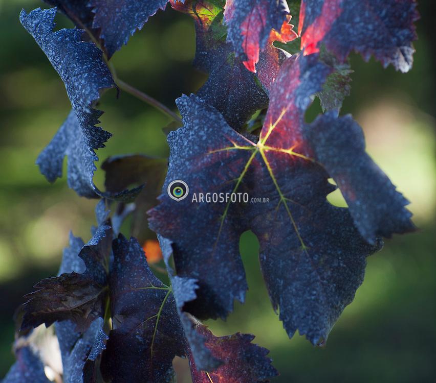 Vinhedo de cabernet no outono Linha Brasil - Pinto Bandeira - Bento Goncalves / Cabernet Vineyard in Autumn 2011 © Paulo Backes