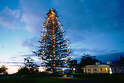 Christmas tree, Parker Ranch, Kamuela, Island of Hawaii<br />