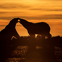 A mother polar bear and her cub backlit against the setting sun, Arctic National Wildlife Refuge, USA, 2017