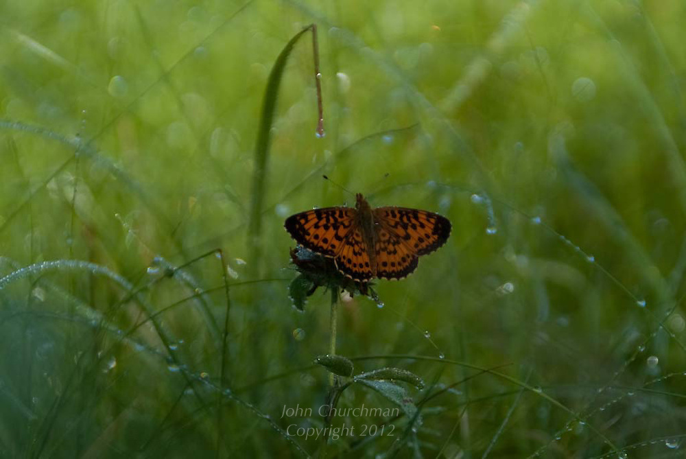butterfly in Vermont grass