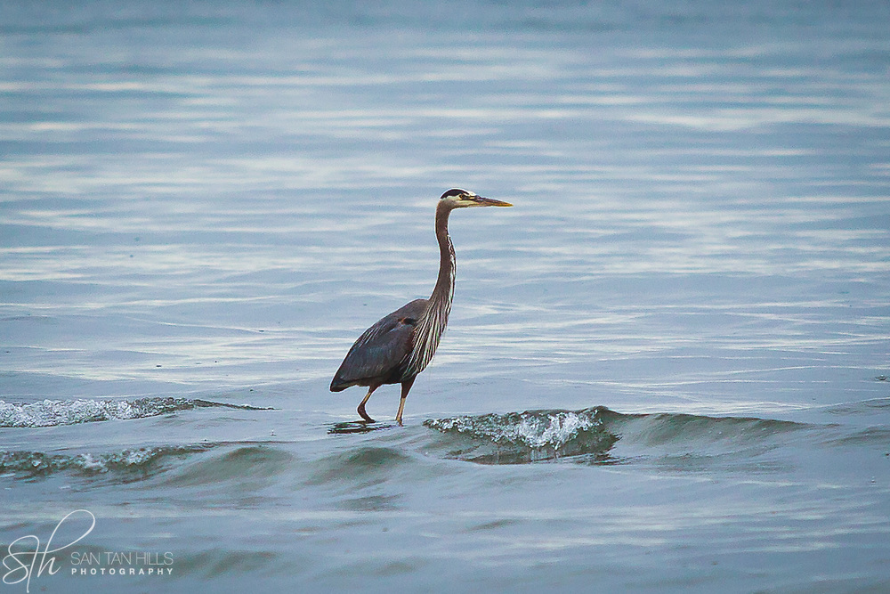 Majestic heron standing in water - Dash Point State Park, Federal Way, WA