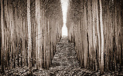 Poplar tree plantation at the Boardman Tree Farm in Eastern Oregon.