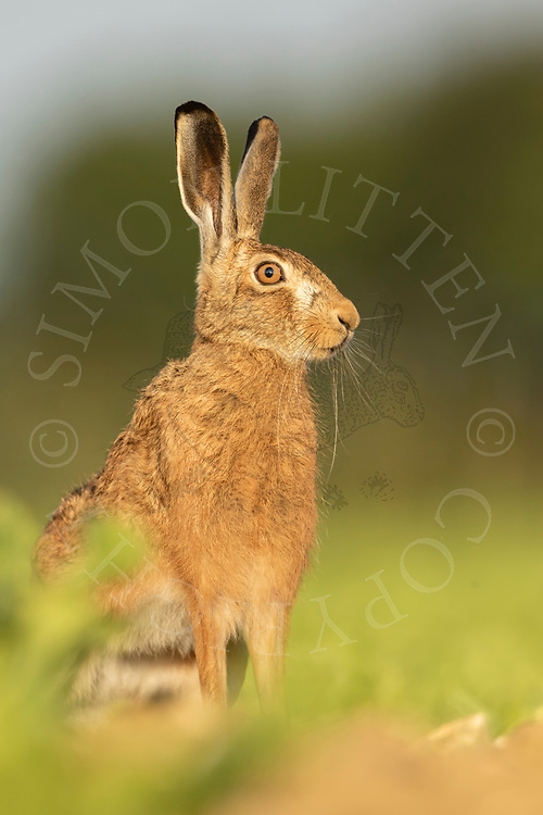 European Hare (Lepus europaeus) adult alert in sugar beet crop, South Norfolk, UK. June.