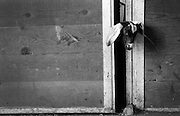 A goat tries to squeeze through a gap in the door to a pen, Tuesday, Aug. 7, 2012, at Schieffer family farm in Berthoud..(Matthew Jonas/Times-Call)