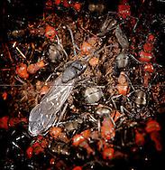 Black And Red Ant's Nest, Courtenay, British Columbia, Canada, Photographer - Isobel Springett