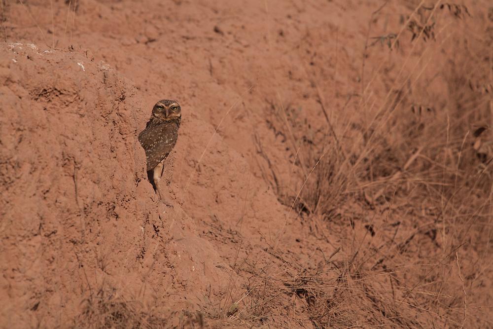 Varzea da Palma_MG, Brasil...Coruja em Varzea da Palma, Minas Gerais...A owl in Varzea da Palma, Minas Gerais...Foto: LEO DRUMOND / NITRO