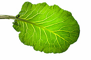 a collard green leaf from my Modern Fine Art series of kitchen fine art photography