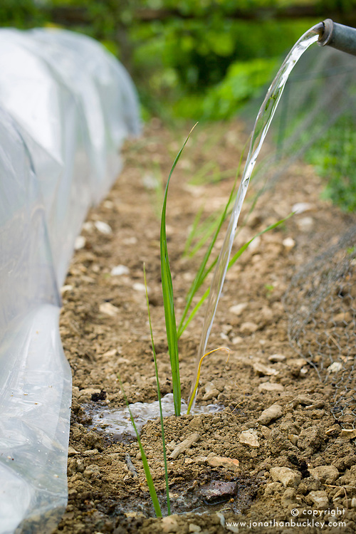 Watering in newly planted leeks