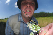Der Scheckhorn-Distelbock (Agapanthia villosoviridescens) sitzt gern auf Disteln und Brennnessel. Experte für Käfer: Wolfgang Beier