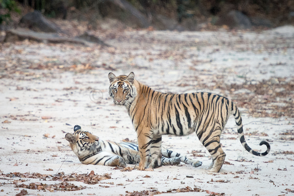 Bandhavgarh is a new National Park with a very long history. Set among the Vindhya hills of Madhya Pradesh with an area of 168sq miles (437sq kms) it contains a wide variety of habitats and a high density of game, including a large number of Tigers. Picture shows two 15 months old Bengal Tiger cubs (male & female) at play.