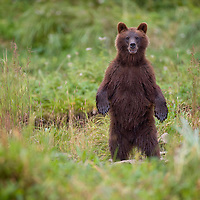 USA, Alaska, Tongass National Forest, Brown (Grizzly) Bear cub (Ursus arctos) standing upright in meadow by  salmon stream along Pybus Bay