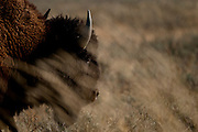 Bison, Bos bison, at Yellowstone National Park, WY, on Sept. 5, 2012.  (Photo by Aaron Schmidt © 2012)