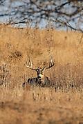 Trophy mule deer buck bedded in grassland habitat.