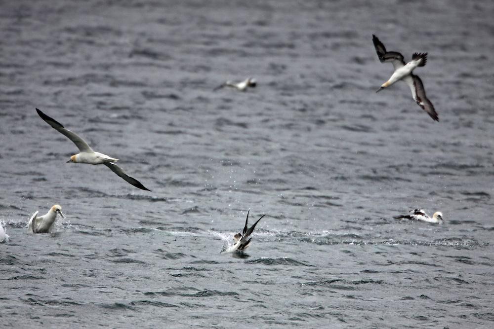 Gannets, Sula bassana, Saltee Islands Ireland