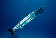 UNDERWATER MARINE LIFE CARIBBEAN, FISH; Barracuda with a attached Remora Sphyraena barracuda