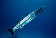 UNDERWATER MARINE LIFE CARIBBEAN, FISH; Barracuda with a attached Remora Sphyraena barracuda