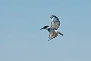 North America, United States, Oregon, Ankeny National Wildlife Refuge, Belted Kingfisher (Ceryle alcyon)