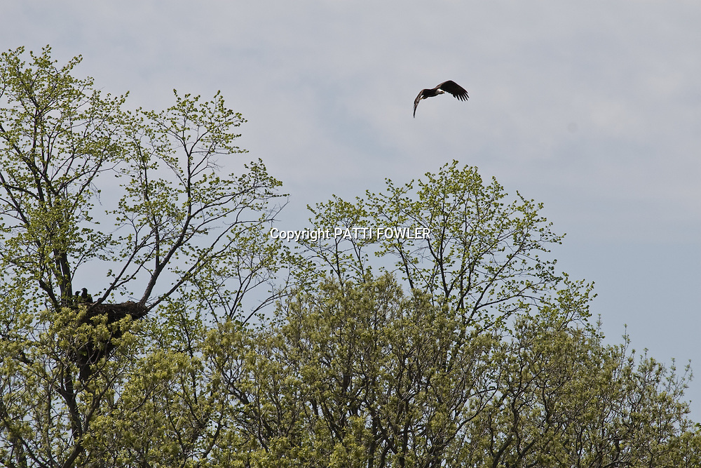 bald eagle flying over nest with two jeveniles