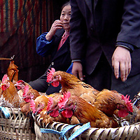 """Baskets of Roosters for Sale at Street Market in Wanxian, China <br /> In China street markets, chicken are sold plucked and hanging in a window or alive so customers can judge their health.  At this """"wet"""" market in Wanxian, China, a customer selected the rooster with its head up.  The shopkeeper's right hand grabbed it by the neck immediately after this photo was taken.  Footnote: Two-thirds of Wanxian, a city that dated back to the Ming dynasty starting in the late 14th century, was flooded by the Three Gorges Dam reservoir in 2008.  In preparation, approximately 80,000 people were displaced and 900 factories were moved.  The area is now called Wanzhou District and is considered part of the Chongqing municipality."""
