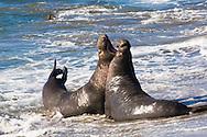 Two Norther Elephant Seal bulls (Mirounga angustirostris) fighting during mating season; Central California