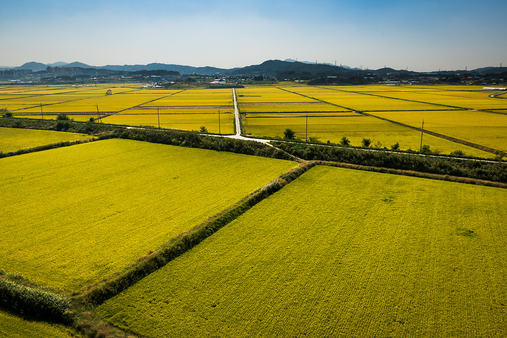 Rice Fields near Asan, South Korea