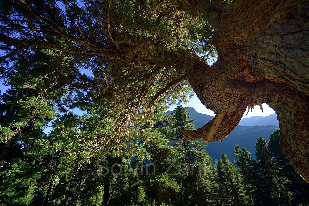 Swiss Stone Pine (Pinus cembra), Arolla Pine, High Tauern National Park (Nationalpark Hohe Tauern), Central Eastern Alps, Austria   Zirbel-Kiefer (Pinus cembra), Zirbelkiefer, Zirbel, Arve, Oberhauser Zirmwald, Nationalpark Hohe Tauern, Osttirol in Österreich