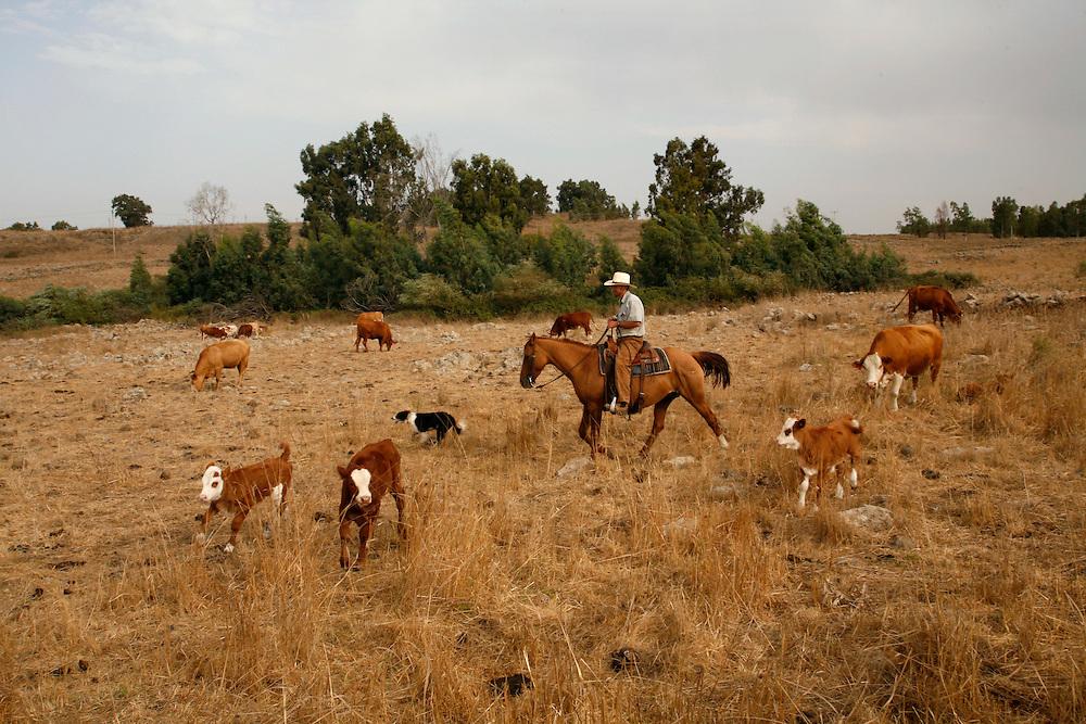 Binyamin Taljdard  33 gathering the cattle for veterinary checks in Moshav Yehonatan in the Golan height, Israel. Sunday october, 1 2007