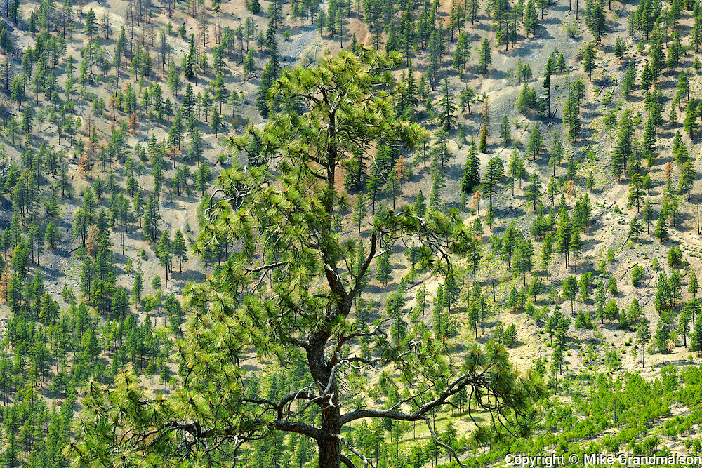 Dry land with pines in the British Columbia Interior<br /> <br /> Near Kamloops<br /> British Columbia<br /> Canada