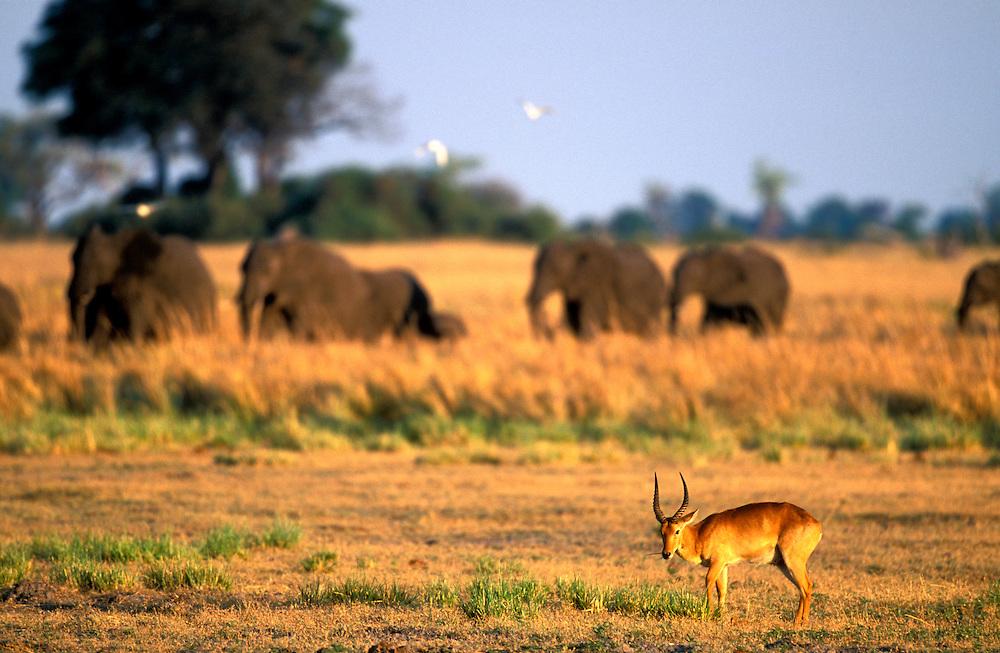 Botswana, Moremi Game Reserve, Lechwe (Kobus leche) and nearby elephant herd (Loxodonta africana) at sunset