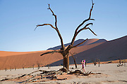 A tourist takes pictures in the Dead Vlei, a clay pan located near the more famous salt pan of Sossusvlei, southwestern Namibia. Dead Vlei is surrounded by the highest sand dunes in the world, some reaching up to 300 meters, which rest on a sandstone terrace. The clay pan was formed after rainfall, when the Tsauchab river flooded, creating temporary shallow pools where the abundance of water allowed camel thorn trees to grow. When the climate changed, a drought hit the area, and sand dunes encroached on the pan, which blocked the river from the area. The trees died, as there no longer was enough water to survive. Sossusvlei is a clay pan in the central Namib Desert, lying within the Namib-Naukluft National Park, Namibia. Fed by the Tsauchab River, it is known for the high, red sand dunes which surround it forming a major sand sea. Vegetation, such as the camelthorn tree, is watered by infrequent floods of the Tsauchab River, which slowly soak into the underlying clay. -Wikipedia