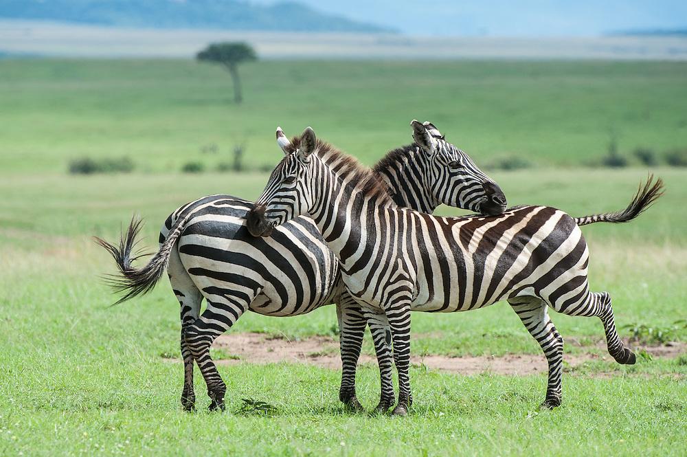 Zebra (Equus quagga) couple interaction on the savanna