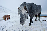 Icelandic horse in a blizzard