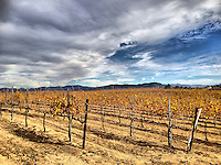 16 December 2013:  Winter vines resting in Temecula, California.  iPhone Stock Photo