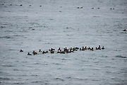 A raft of scoters have formed off shore and are beginning to move toward shore.