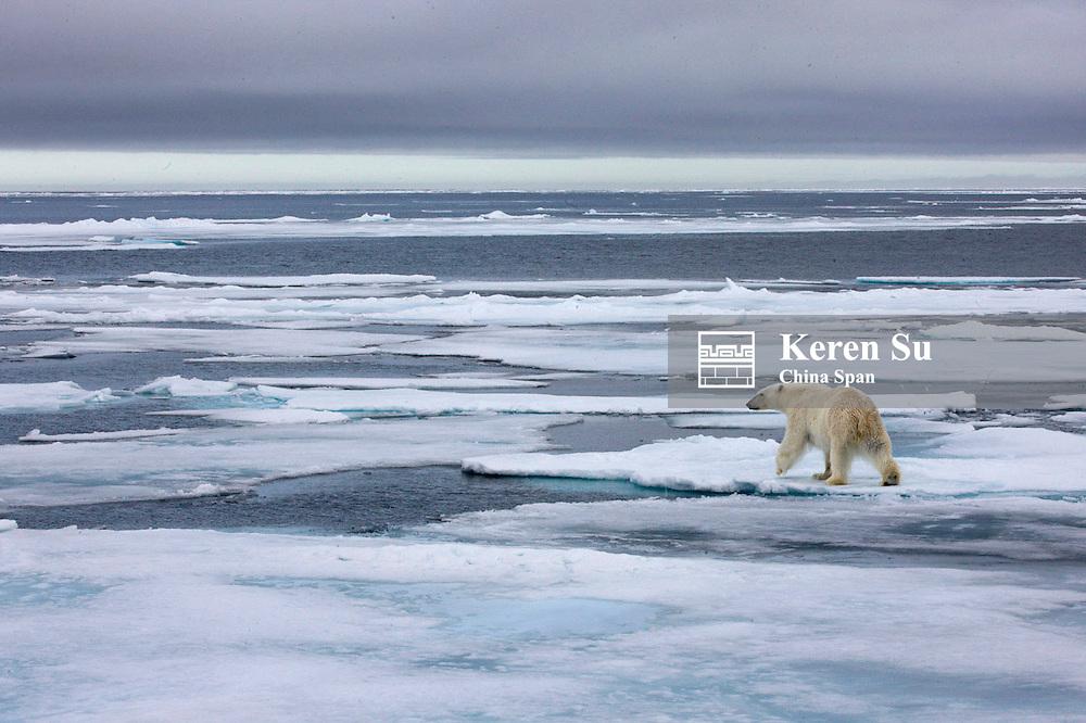 Polar bear on ice, Sorgfjord, Spitsbergen, Norway