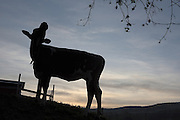 """Waffle, a Shorthorn heifer, stretches her neck as day breaks over Green Acres farm the day before she will be sold at auction in South Randolph, Vt., Friday, May 13, 2016. The herd dispersal auction will end over 80 years of breeding and milking the same cow family lines by Joan Wortman and her family. """"I would bet 99 percent of a paycheck that we are the only herd in the country that can trace every single one of their animals back registration-wise ... for 80 years,"""" said Wortman. """"We have never bought an animal. I didn't have to start over. They were given to me. They were given to my to my mother from her father."""" (Valley News - James M. Patterson) Copyright Valley News. May not be reprinted or used online without permission. Send requests to permission@vnews.com."""